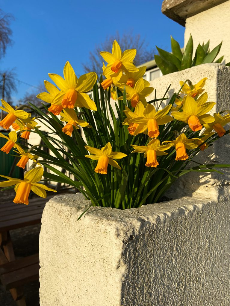 murpworks - The Tales of Silverdale - Spring 2021 - daffodils in step wall image